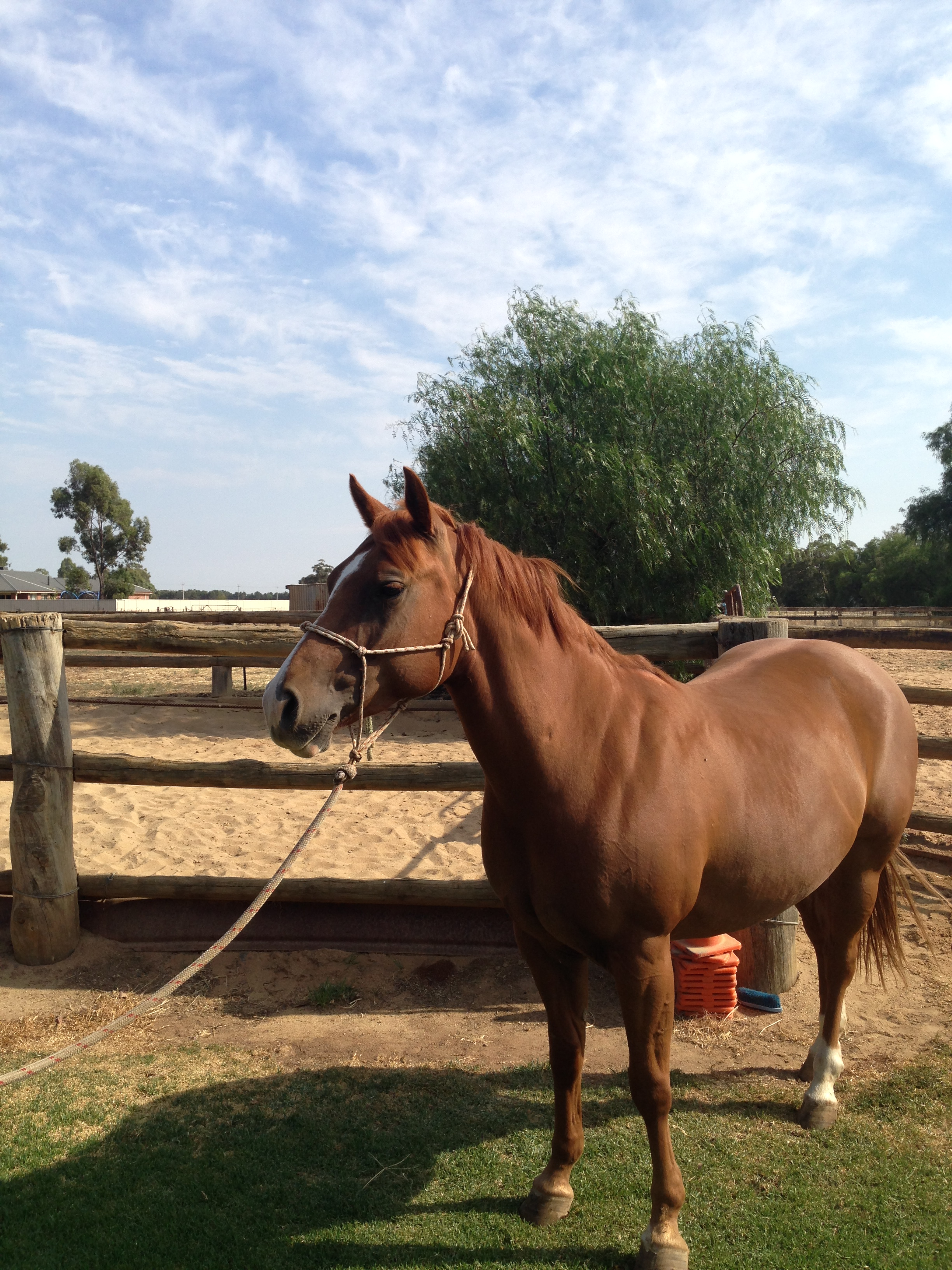 Golden Palomino Horse For Sale