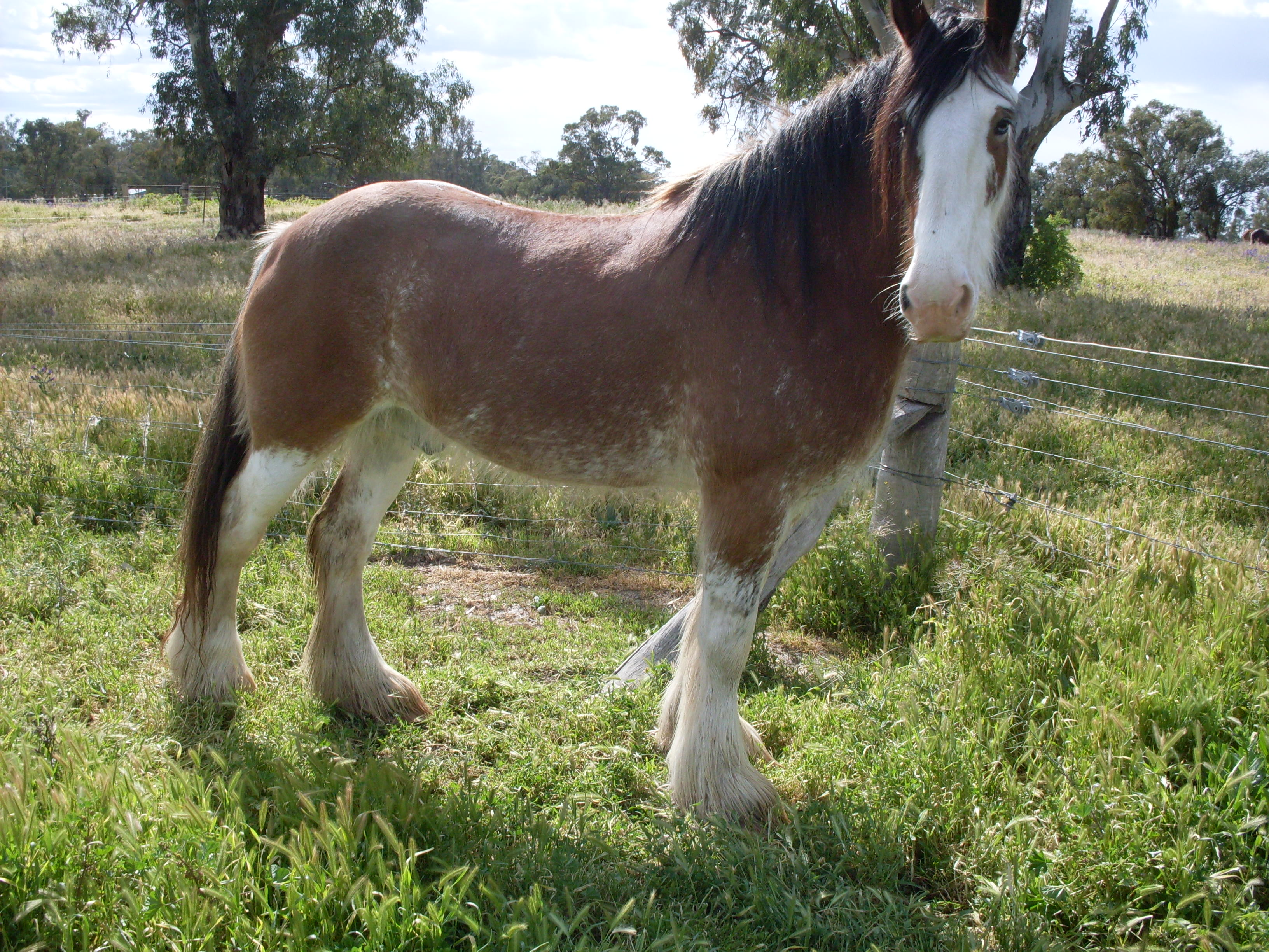 Quot Morgandale Murray Quot Clydesdale Gelding Bay Horses