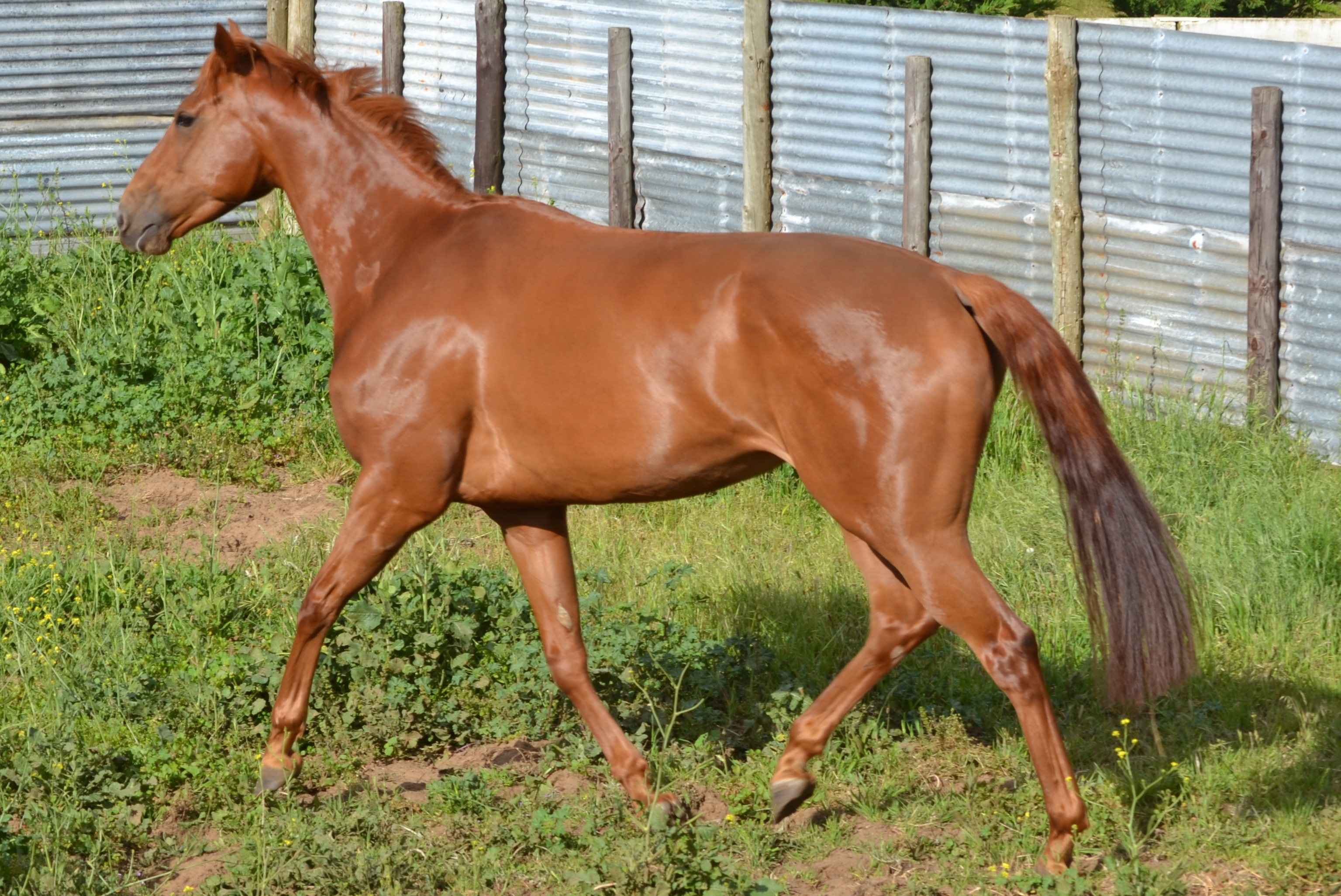 """""""Roses On White LACE"""" - Thoroughbred Mare (Chestnut ... - photo#6"""