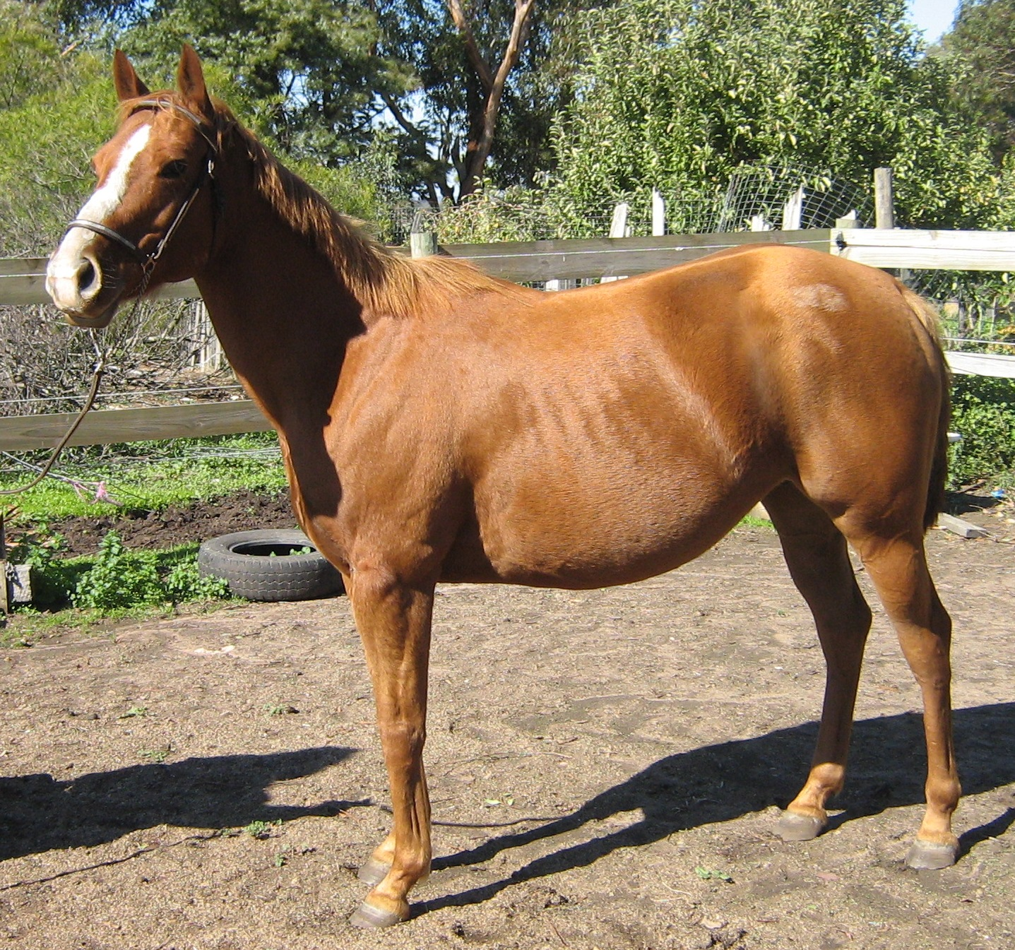 """""""Red Sonja"""" - Other Breeds Mare (Chestnut) 