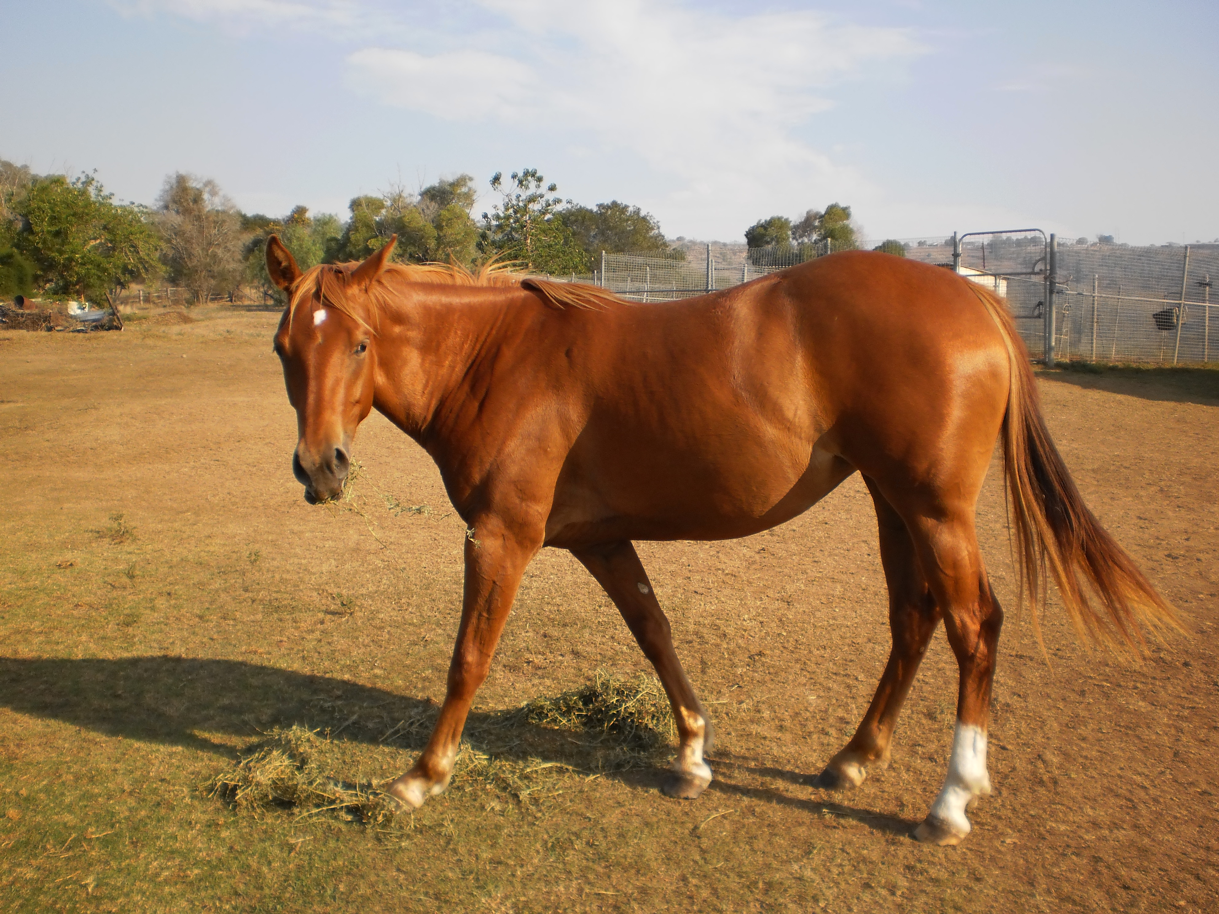 """Tennessee Honey"" - Quarter Horse Filly (Chestnut ... - photo#26"