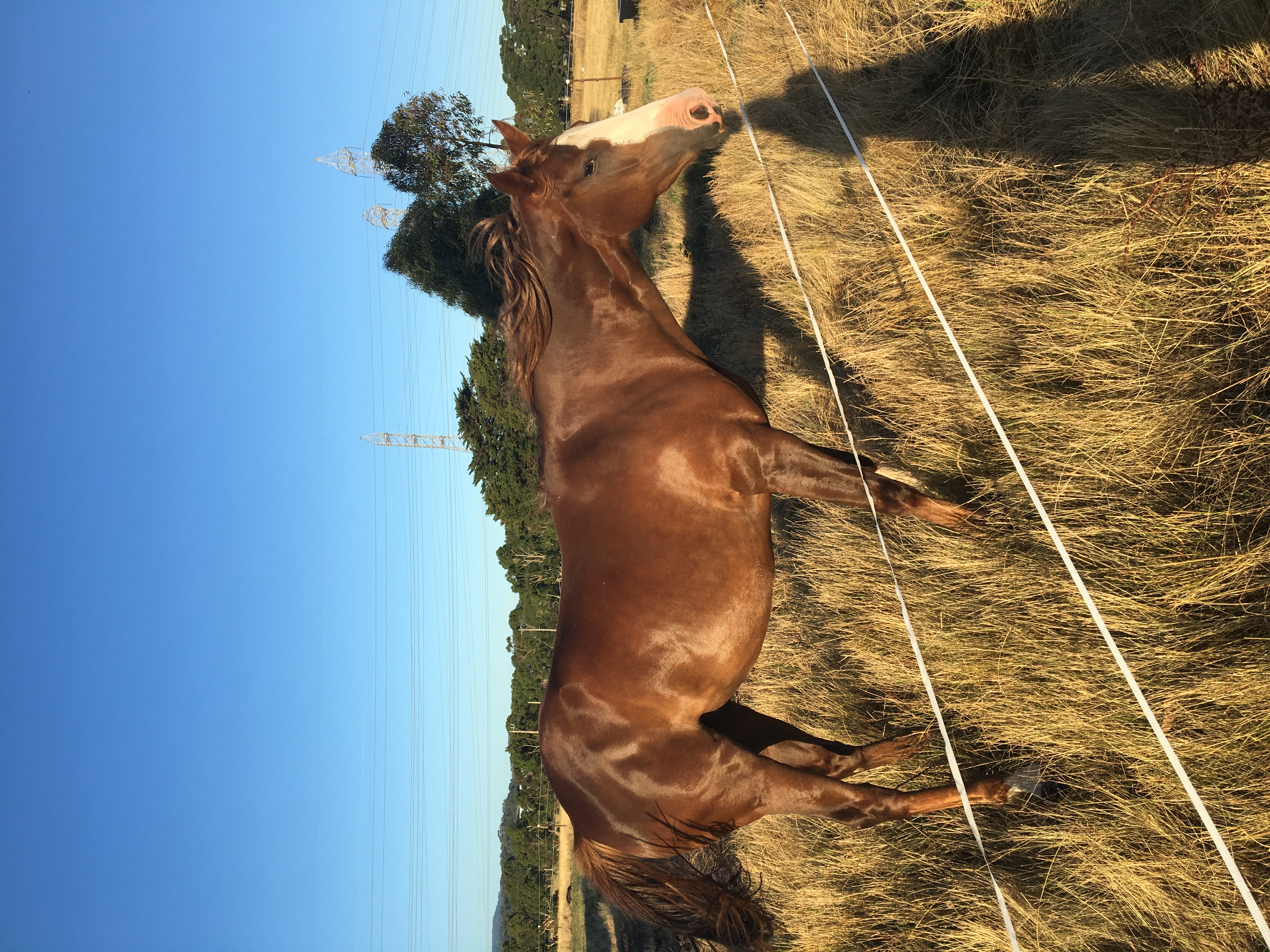 """""""Sienna"""" - Other Breeds Filly (Chestnut) 